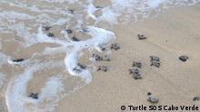 Tags für alle: Turtle, Meeresschildkröte, Sal, Cabo Verde, Cape Verde, Kapverden, Sal, loggerhead Alle aufgenommen 2014 Diese Fotos haben alle als Copyright: Turtle SOS Cabo Verde Wir dürfen sie kostenlos verwenden.