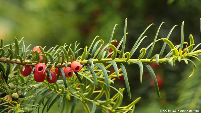 Beeren an einem Baum (taxus baccata) (Photo: Henry Hemming/CC BY 2.0/https://www.flickr.com/photos/henry_hemming/15378473171)