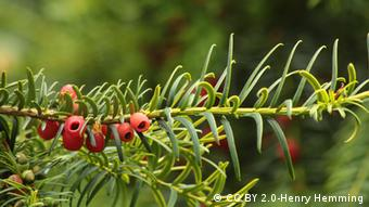 The red berries and spindly leaves of the Taxus Baccata plant