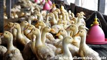 FILE--Herds of ducks are pictured at a duck farm in Zouping county, Binzhou city, east Chinas Shandong province, 28 October 2011. China is set to become one of the biggest international producers of foie gras, much to the chagrin of the mainlands fledgling animal rights movement. The move comes as concerns about force-feeding connected to the French delicacy is driving the industry out of developed nations. But plans to establish a massive production facility on the shores of Poyang Lake in Jiangxi province, announced by a British investment company, have prompted a Beijing-based environmental group to call for a boycott of the delicacy. The Darwin Natural Knowledge Society has launched a campaign condemning the project, which it believes would be one of the biggest in the world.