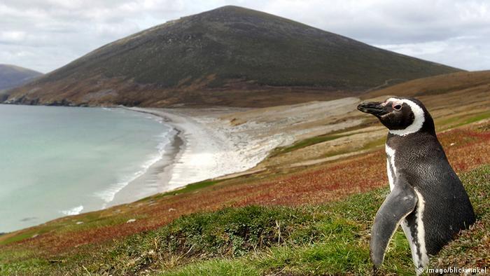 Falkland Inseln Magellan Pinguin