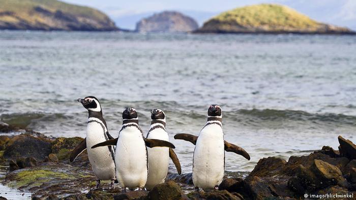 Magellan penguins waddling on a beach