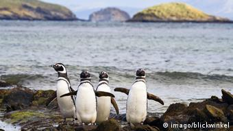 Magellanic penguins on Carcass Island