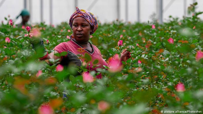 Blumenindustrie in Kenia: Die Arbeiterinnen auf afrikanischen Blumenfarben werden oft nicht vor verwendeten Pestiziden geschützt (picture alliance/Photoshot)