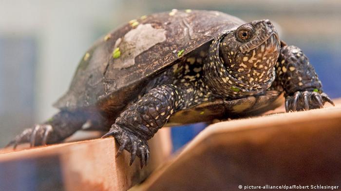 Europäische Sumpfschildkröte Reptil des Jahres 2015