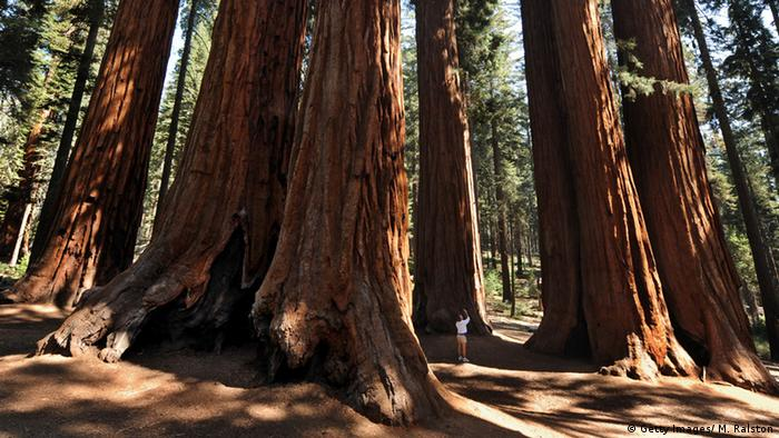 Ancient redwood forest in California (Photo: MARK RALSTON/AFP/Getty Images)