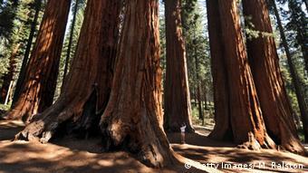 Symbolbild - Redwood Wald