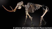 El esqueleto de un mamut de entre 30.000 y 50.000 años de antigüedad.