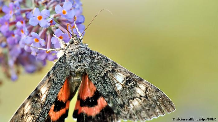 Schmetterling Rotes Ordensband