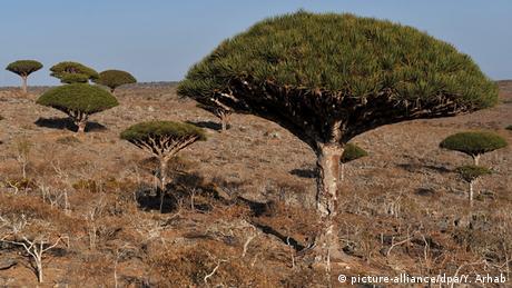Jemen Drachenbaum auf der Insel Sokotra im Indischen Ozean
