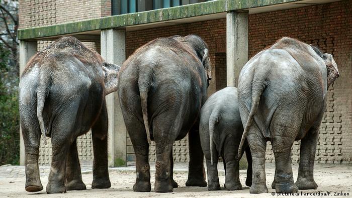 Elephants in captivity (picture-alliance/dpa/P. Zinken)