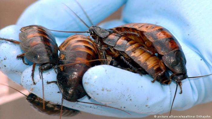 Giant cockroaches (Photo: dpa/Picture alliance)