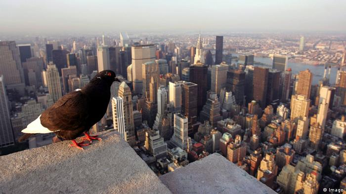 New York: Pigeon looks over Manhattan (Photo: dpa/Picture Alliance)
