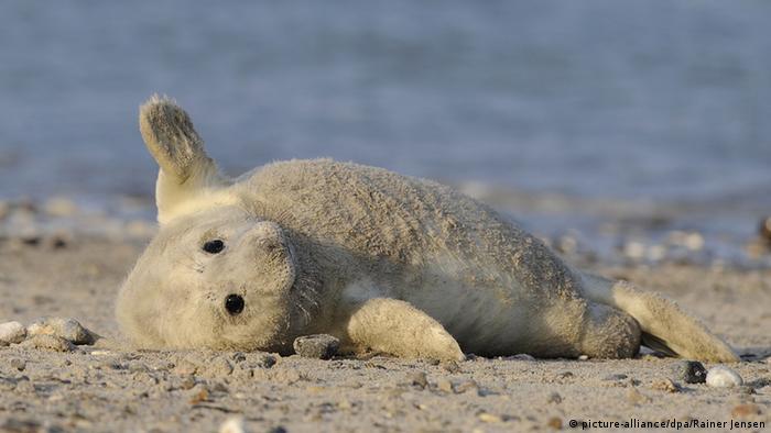 Новорожденный тюлень