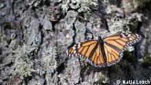 Teaser Schmetterling Ohne Logo