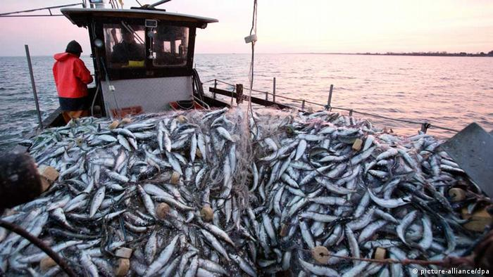 Herring fish caught in the Baltic