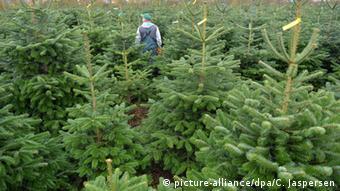 Η συντριπτική πλειοψηφία των χριστουγεννιάτικων δέντρων προέρχεται από φυτώρια