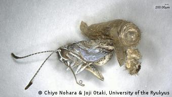 Photo: A butterfly from a region exposed to radiation(Photo: (C) Chiyo Nohara & Joji Otaki, University of the Ryukyus)