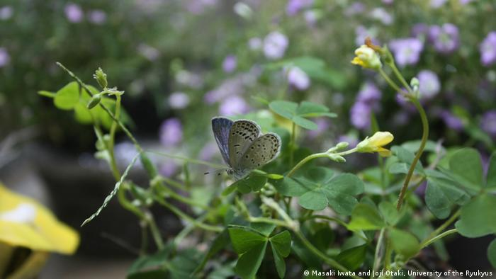 Muchas mariposas Pale Blue Grass presentan mutaciones tras el accidente nuclear de Fukushima.