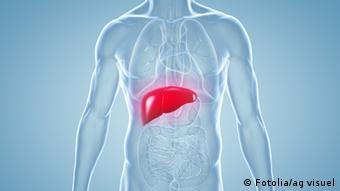 Красный контур печени в прозрачном человеческом теле