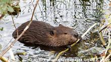 Beaver feeding in water, Castor canadensis, Quebec, Canada pixel