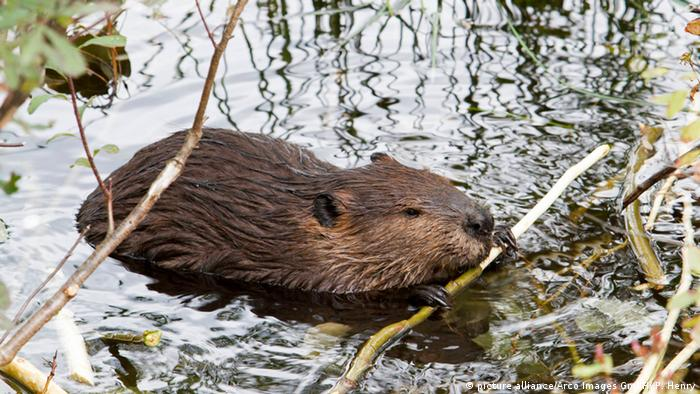 A beaver feeding on a stick in the water