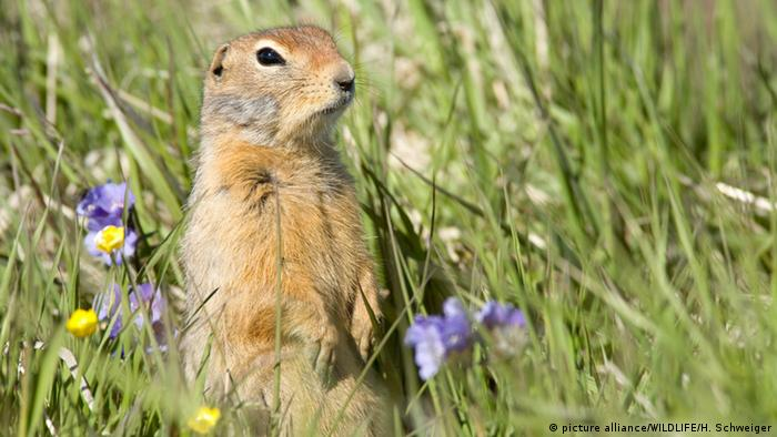 Arctic ground squirrel in meadow