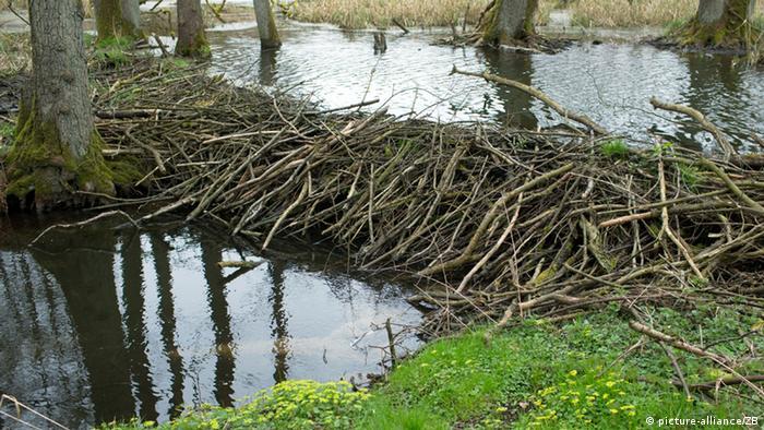 A beaver's dam