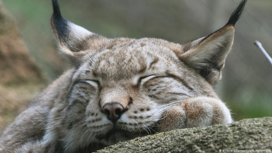 Sleeping lynx (photo: Picture-alliance/ dpa/ H. Hollemann)
