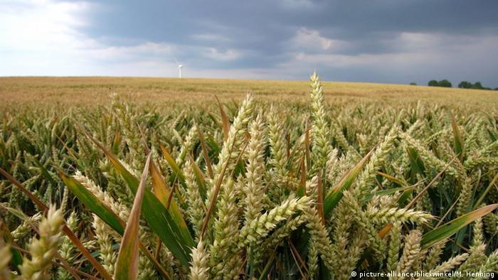 Weizen Ernte Symbolbild GVO GMO Gentechnik EU (picture-alliance/blickwinkel/M. Henning)