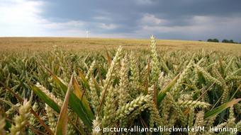 Γενετικά μεταλλαγμένες καλλιέργειες