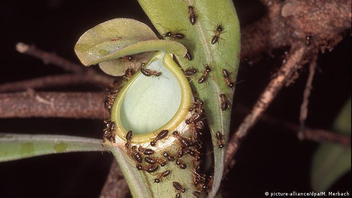 Termiten in Borneo Nasutitermitinae (picture-alliance/dpa/M. Merbach)