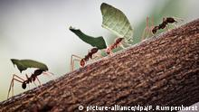 Ants moving on a tree trunk (picture-alliance/dpa/F. Rumpenhorst)