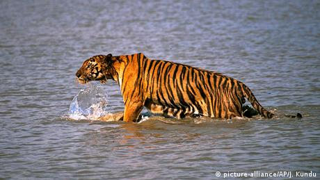 Bengal tiger in the Sundarbans