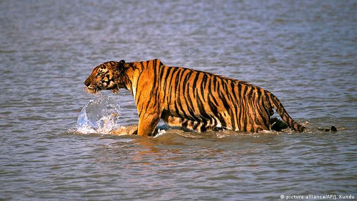 Indien Sunderbans Indischer Bengalischer Tiger