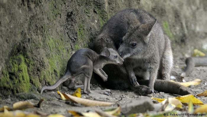 A baby wallaby with its mother