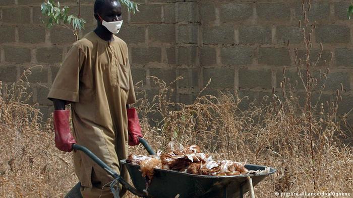 A man with a facial mask pushes a wheelbarrow with dead birds (file).