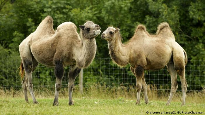 Two camels with two humps each standing on the grass