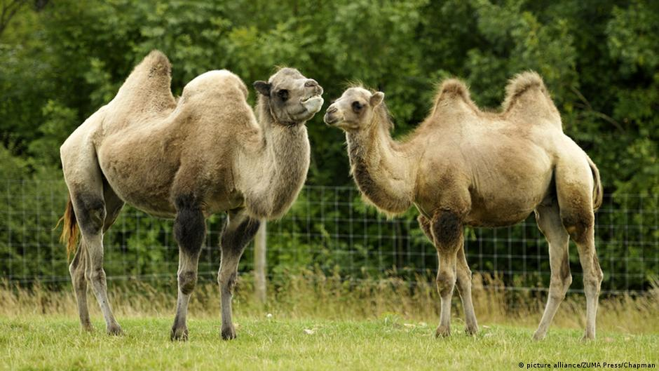 What S The Difference Between A Camel And A Dromedary