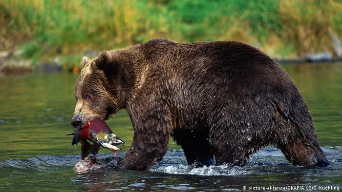 Brown bear in Alaska (picture-alliance/OKAPIA KG/E. Kuchling)