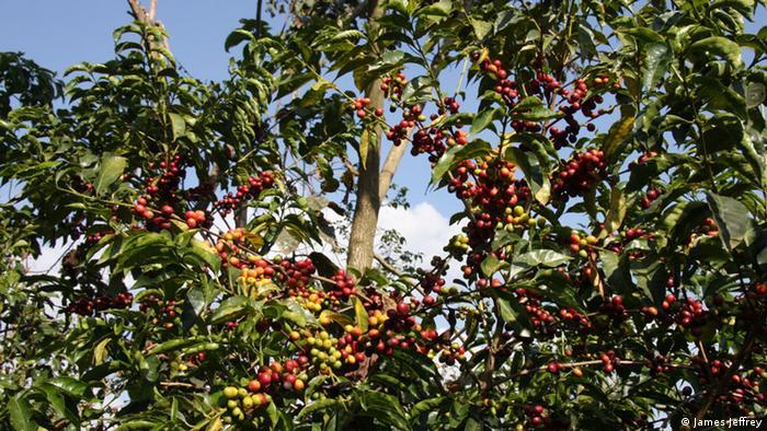 Japan Äthiopien Kaffee Projekt