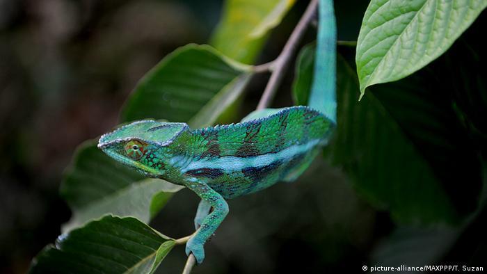 Chamäleon aus Madagaskar