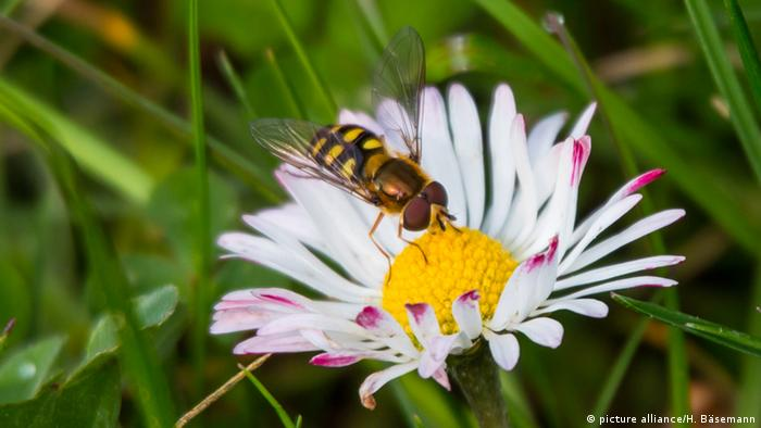 Hoverfly on a daisy (picture alliance/H. Bäsemann)