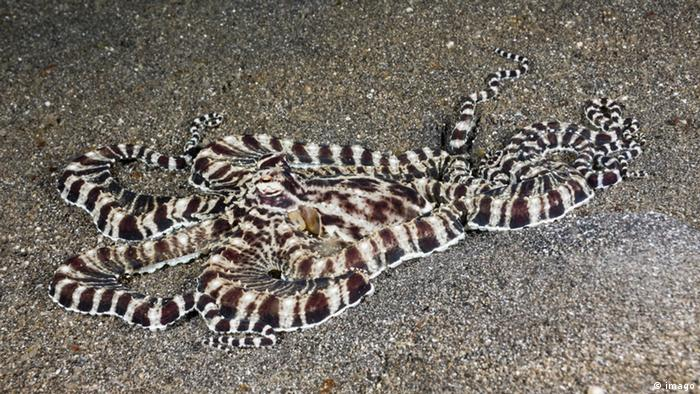 Mimik Oktopus Thaumoctopus mimicus