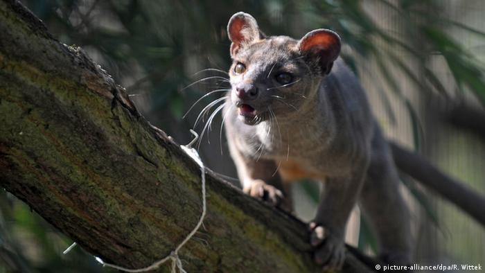 Мадагаскарская фосса в Гейдельбергском зоопарке