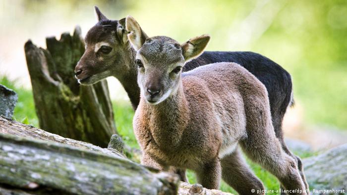 Два маленьких муфлона в зоопарке Кронберга