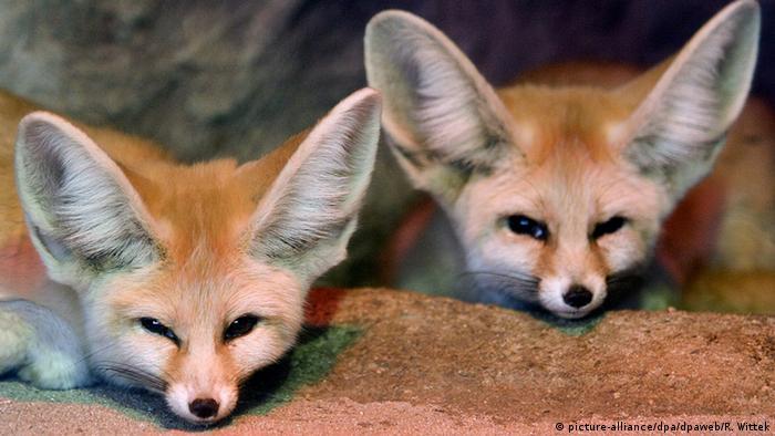 Фенеки - миниатюрные лисицы в зоопарке Карлсруэ