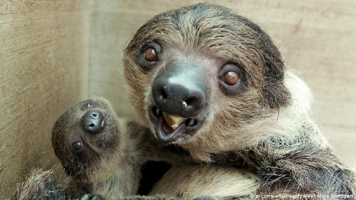 Пополнение у ленивцев в Штутгартском зоопарке