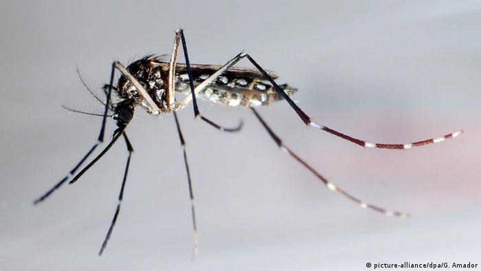 Aedes Aegypti-Mücke