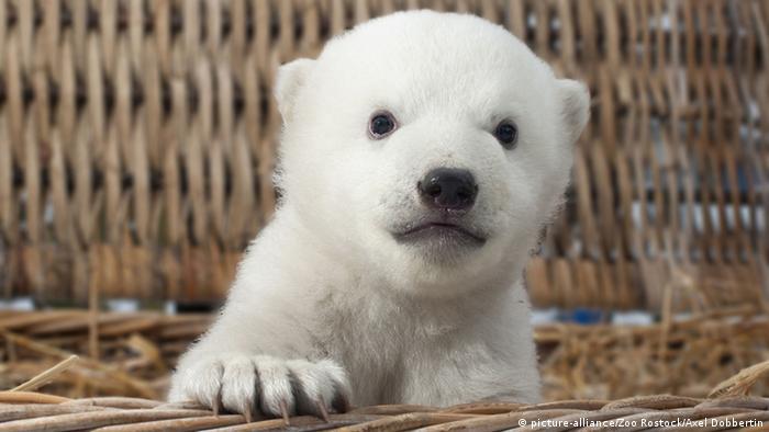 ein kleines weißes Eisbärbaby